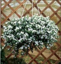 Les plantes pour suspension